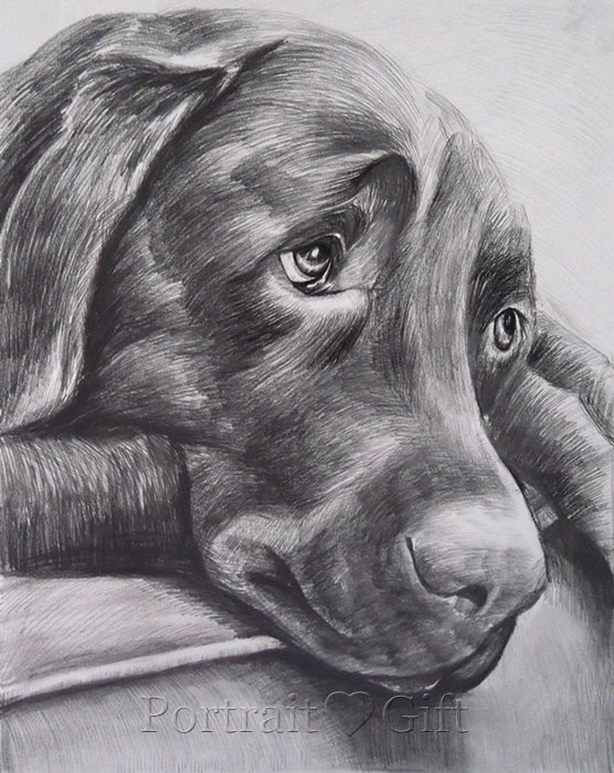Dog Pencil Drawing Portrait