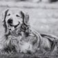 Dog Pencil Sketch Portrait